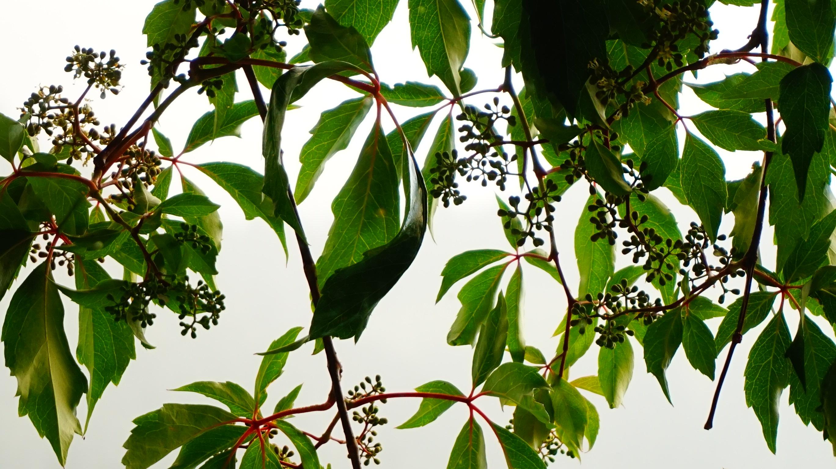 green leaf 5731